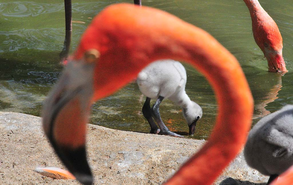 Greater flamingo chicks, with black legs, are being fostered by American flamingos at the San Diego Zoo.