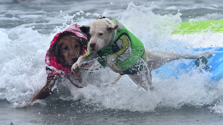 Two dogs bail out at the end of a surf in the Helen Woodward Dog Surf-a-thon at Del Mar Beach.