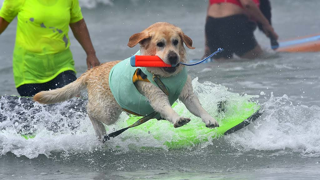 Canines in the large dog category were the last to surf, but wave conditions deteriorated.