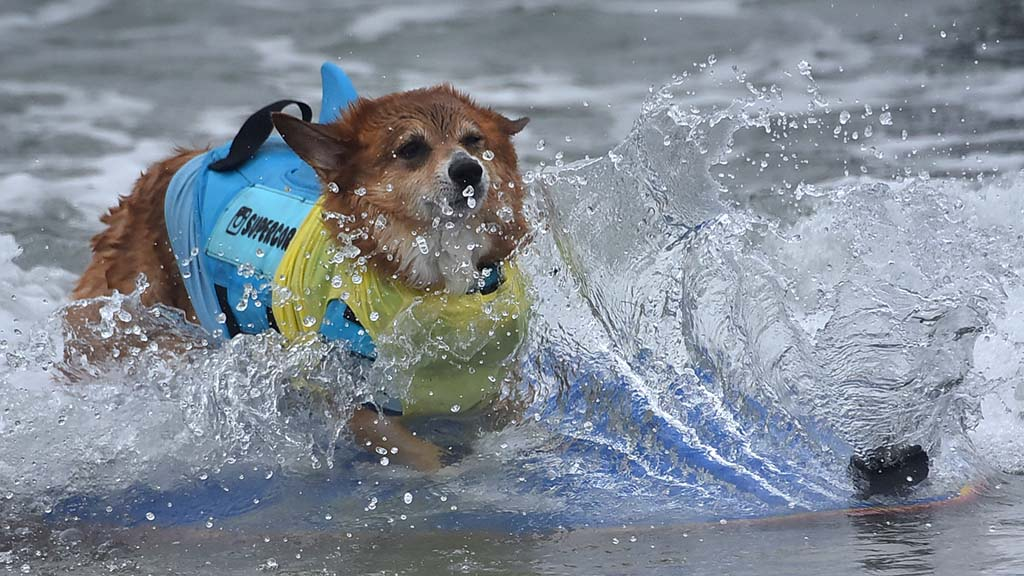 Super Corgi JoJo makes a splash in the competition.