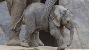 Female calf named Mkhaya (but called kaia by staff) was born at San Diego Zoo Safari Park.