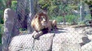 San Diego Zoo lion Nyack as seen in 2010.