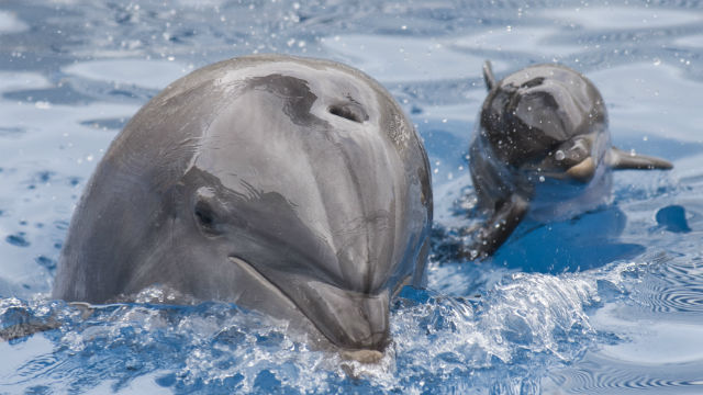 The dolphin Melanie and her baby swim together