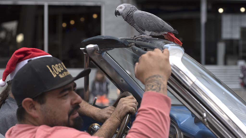A parrot goes along for a ride on the parade route on a lowrider.