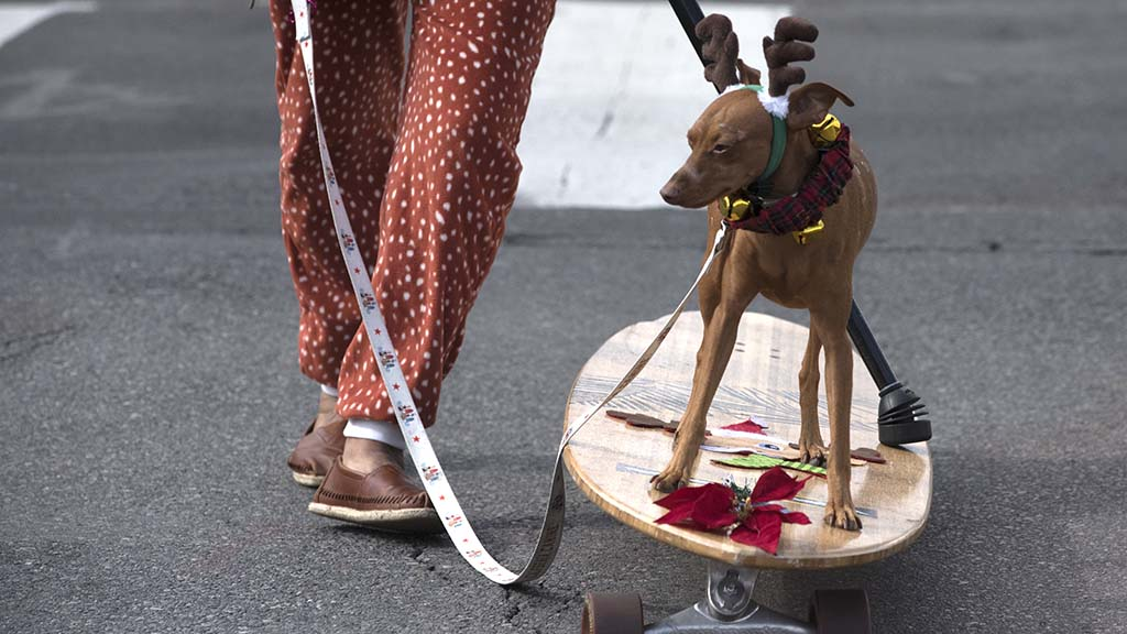 Rusty the Surfing Min Pin swapped his surfboard for a skateboard in the parade.