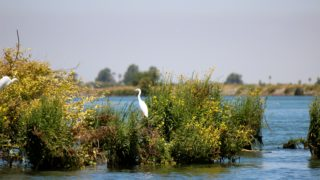 An egret in the central Delta