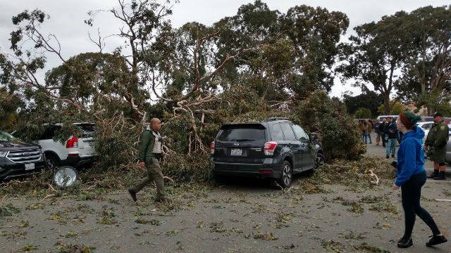 Fallen eucalyptus tree in Balboa Park