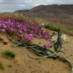 Wildflowers in the Borrego Badlands