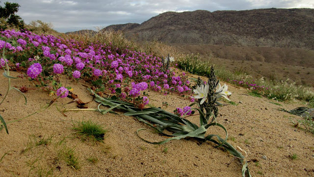 Wildflowers in the Borrego Badlands