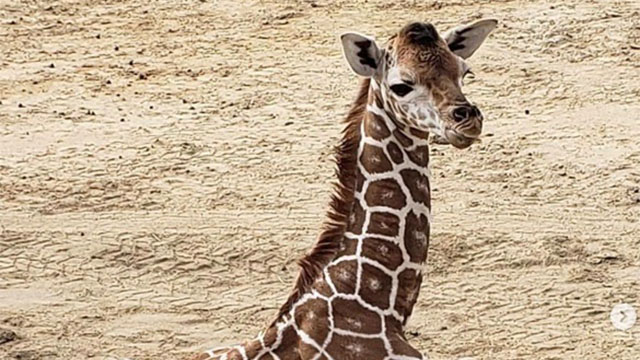 Newborn Giraffe Recovering From Inflammatory Condition At San Diego