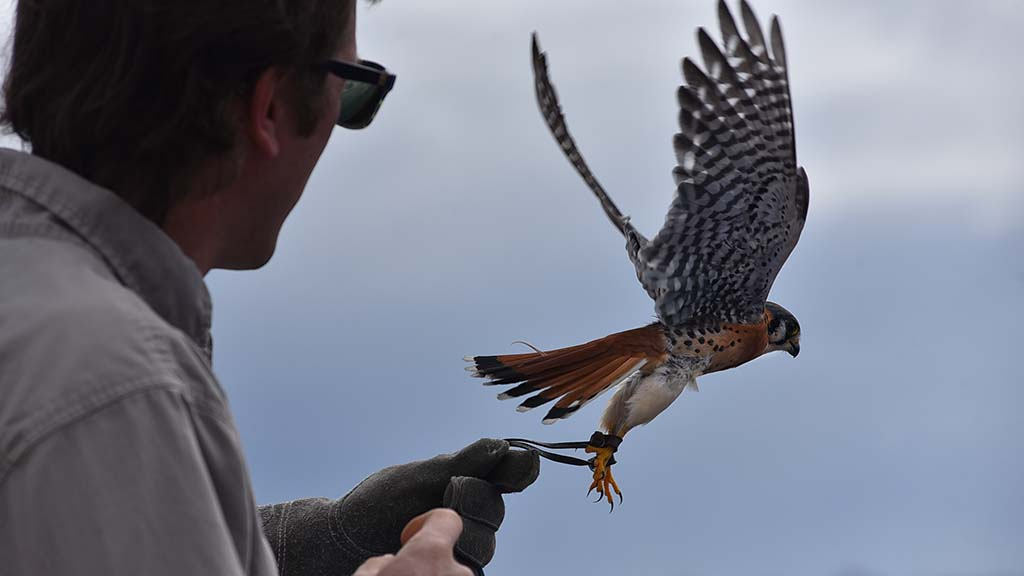 An American kestrel, which is often seen around San Diego, is shown to visitors during the 2019 Love Your Wetlands Day.