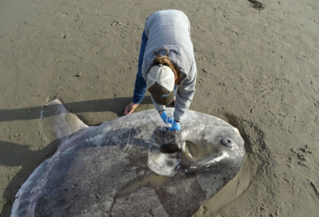 A researcher takes tissue samples from the sunfish