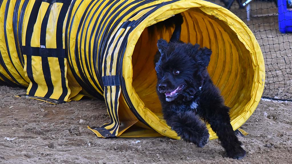 A dog sprints through the tunnel in the agility judging of the Silver Bay Kennel Club show.