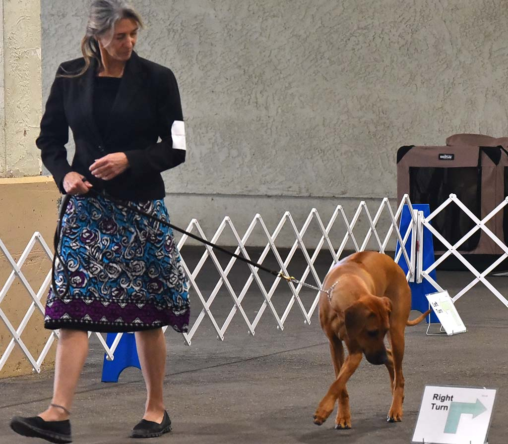 An Rhodesian Ridgeback takes a look at the sign as it competes in the obedience portion of the show.