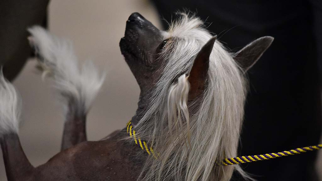 A Chinese Crested dog seeks attention on the sidelines of the Silver bay Kennel Club show.