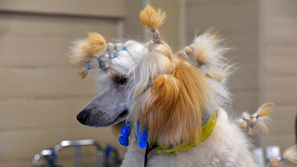 A standard poodle gets ready for a good hair day in the Silver Bay Kennel Club show.