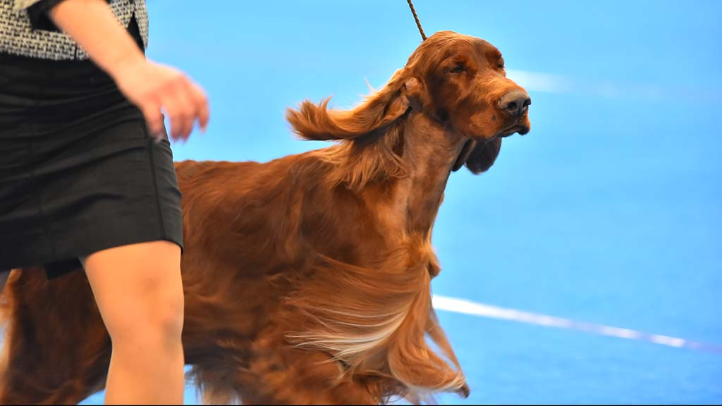 The long hair of the Irish Setter flows while it runs across the judging ring.