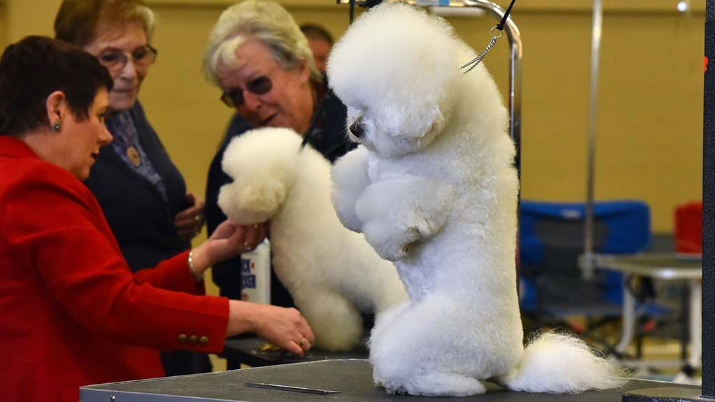 A Bichon Frise sits up for a photo after a grooming at the Silver Bay Kennel Club show in Del Mar.