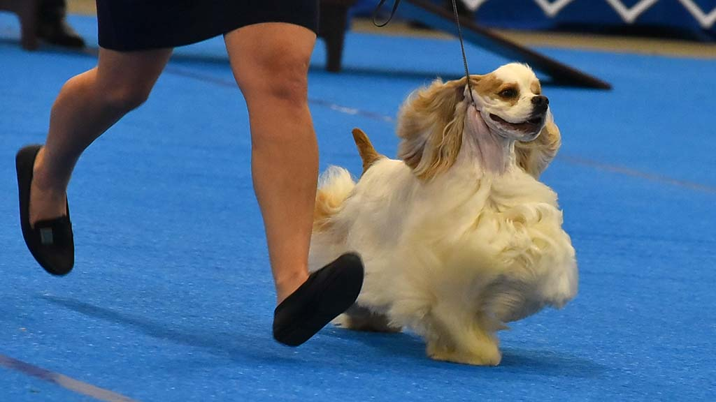 A cocker spaniel with its hair flowing and its handler sprint across the judging ring at the Silver Bay Kennel Club show in Del Mar.