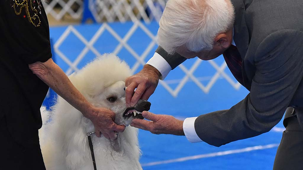 A poodle gets a dental inspection by the judge Malcolm Moore at the beginning of its turn to compete.