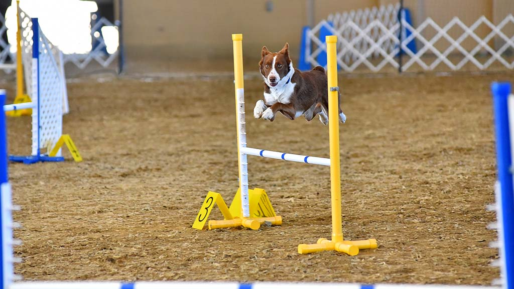 A dog easily clears the bar in the agility circle at the Silver Bay Kennel Club show.