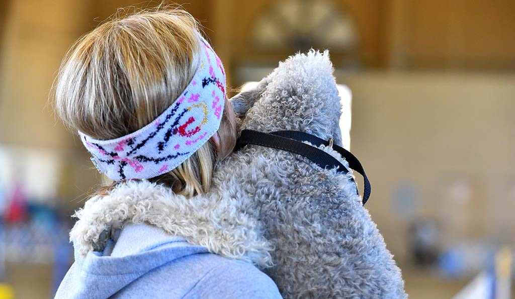 A Bedlington Terrier watches the agility competition with its owner.