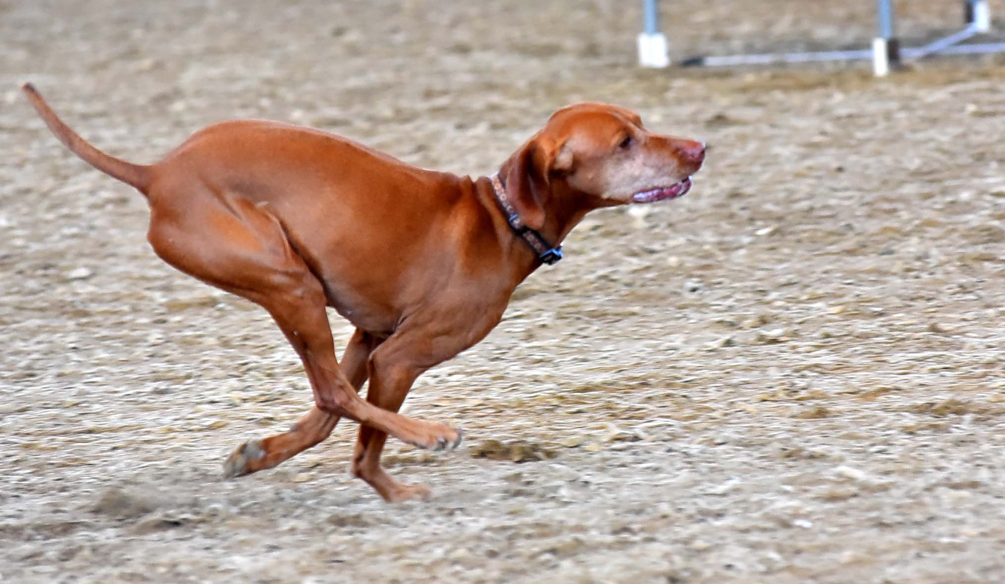 A Vizsla sprints through the agility course at the Sliver Bay Kennel Club Show. Vizslas can run up to 40 mph.