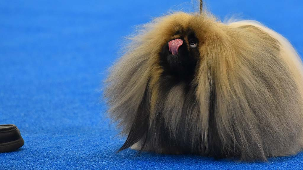 A Pekingese looks to his handler for directions in the ring at the Silver Bay Kennel Club show.