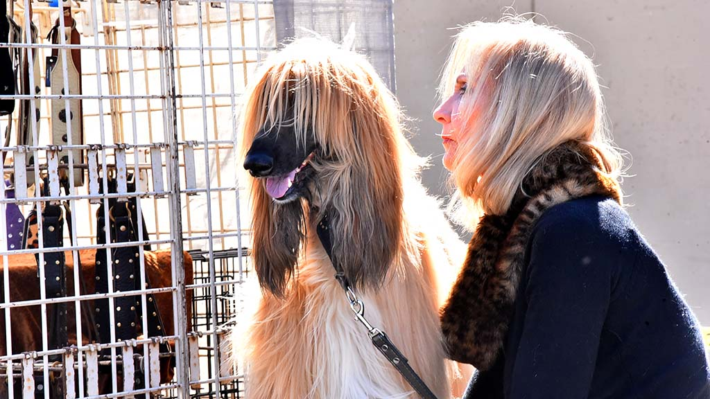 An Afghan Hound and its owner get wind blown outside at the Silver Bay Kennel Cub show in Del Mar.