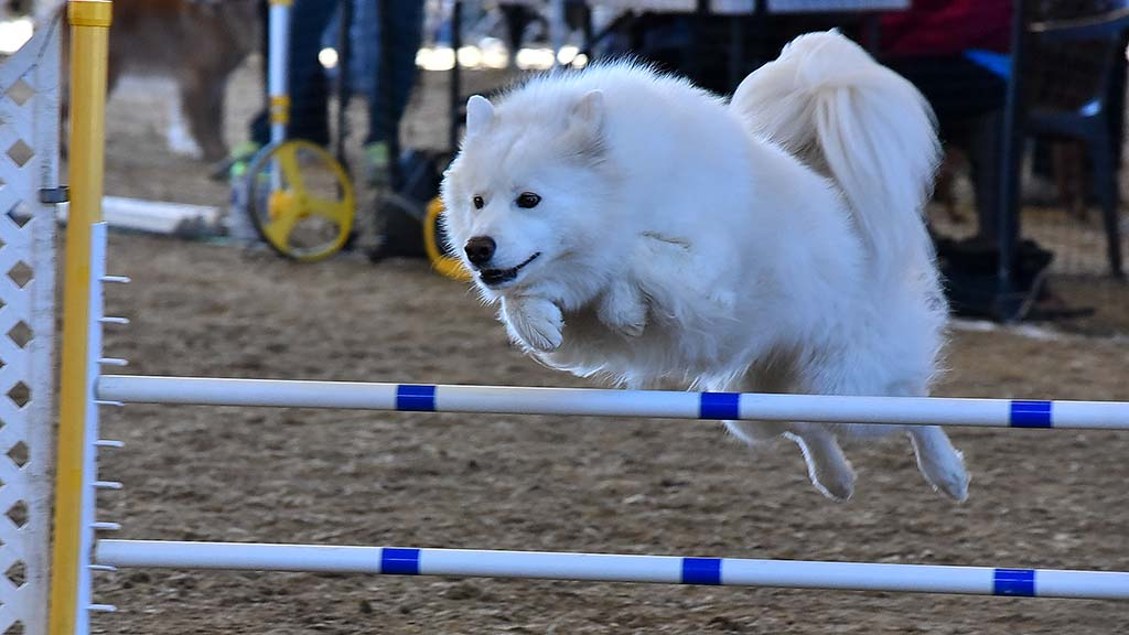 A Samoyed clears a gate in the agility judging of the Silver Bay Kennel Club show in Del Mar.
