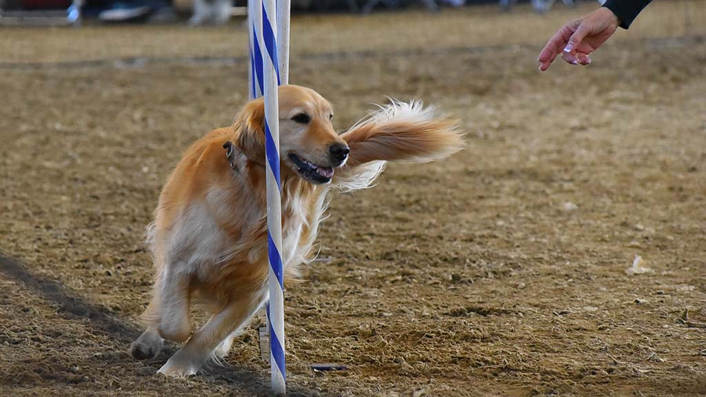 A Golden Retriever manages the weave portion of the agility judging at the Silver Bay Kennel Club show in Del Mar.
