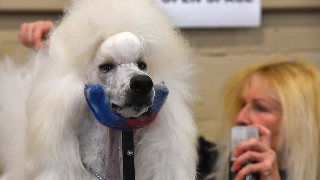 A poodle gets some finishing touches with hair spray before the competition.