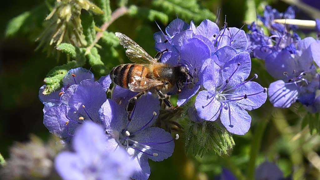 A bee is busy gathering pollen from the Canterbury Bells at the Anza-Borrego Desert State Park Visitor Center.