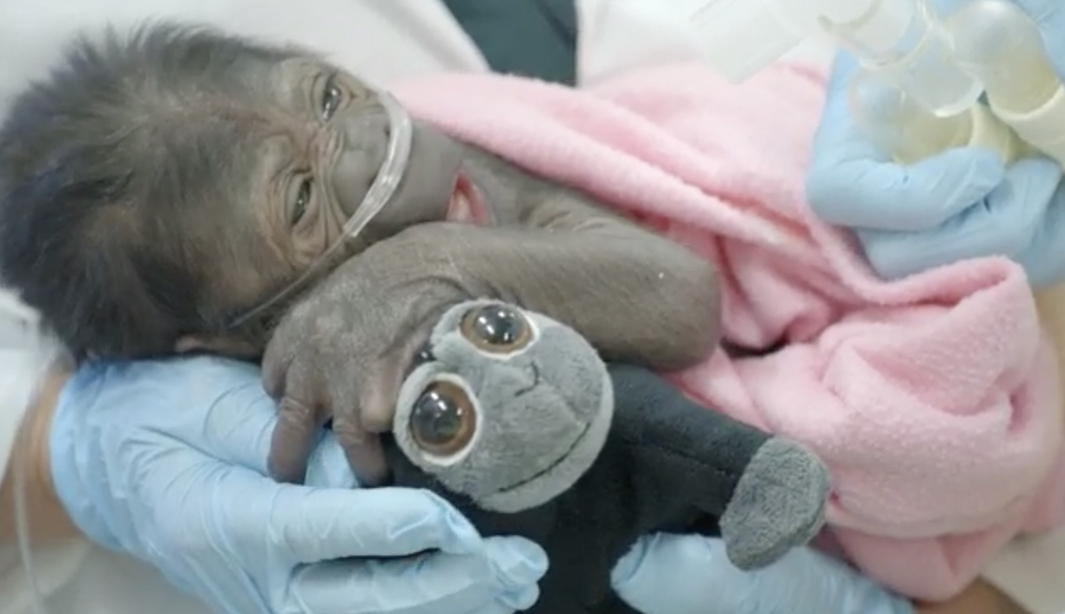 Baby Gorilla Joanne Survived 'Miracle' Birth, Now Celebrating 5th Birthday at Safari Park