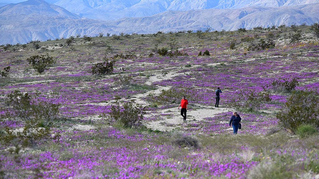 Desert Sand Verbena provide a purple carpet for visitors along Henderson Canyon Road outside of Borrego Springs.