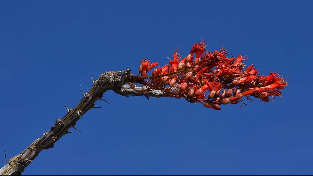 Ocotillo blossoms are just beginning to show up in the area around Anza Borrego State Park.