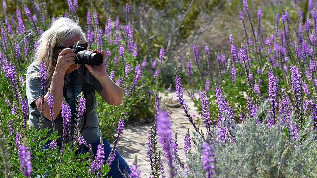 Arizona Lupine could be found in abundance along County Highway 22 in Borrego Badlands.