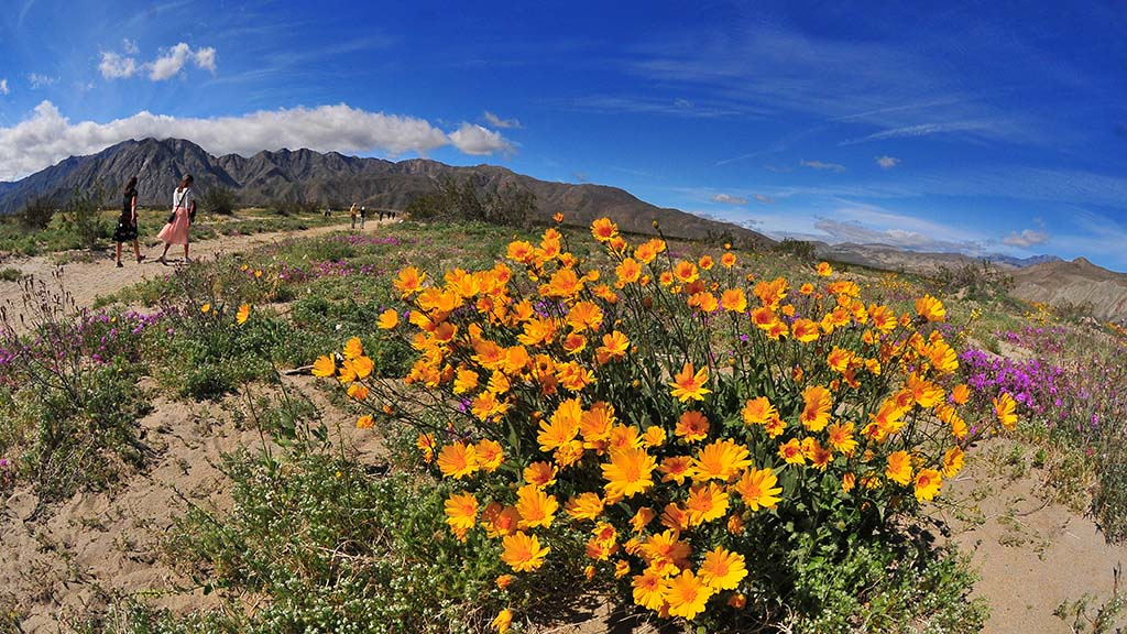 Desert Sunflowers and Desert Sand Verbena add color to an area off of Digorgio Road north of Borrego Springs.