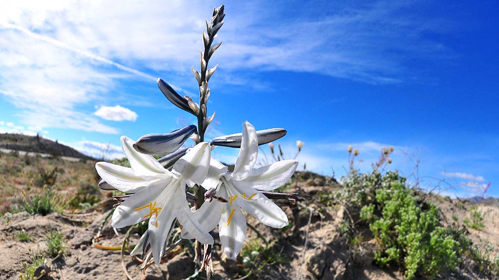 The Desert Lily could be found along County Highway 22 on the way to the Salton Sea.