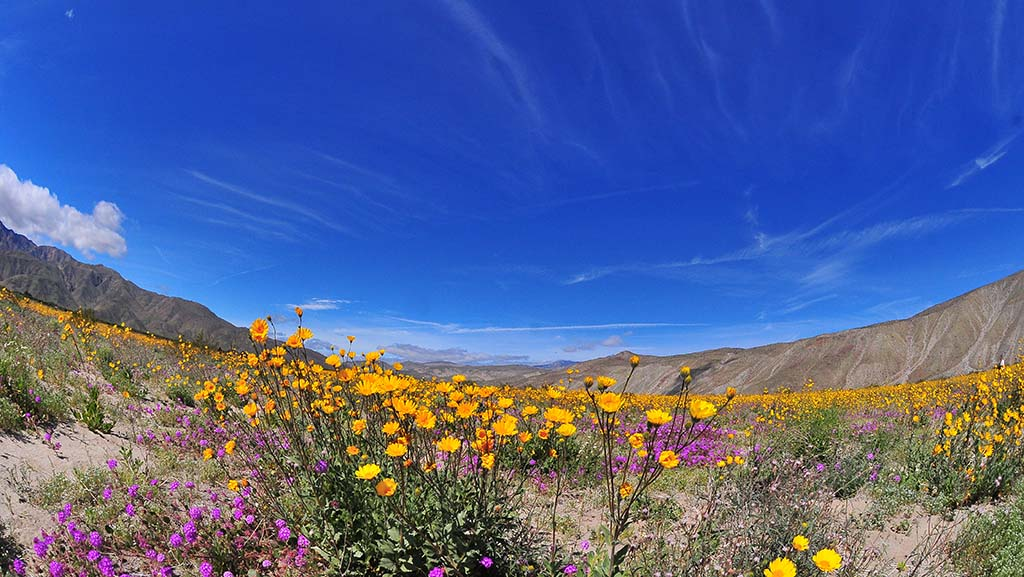 Yellow Desert Sunflowers and Desert Sand Verbena colorize an area north of Anza-Borrego Desert State Park.