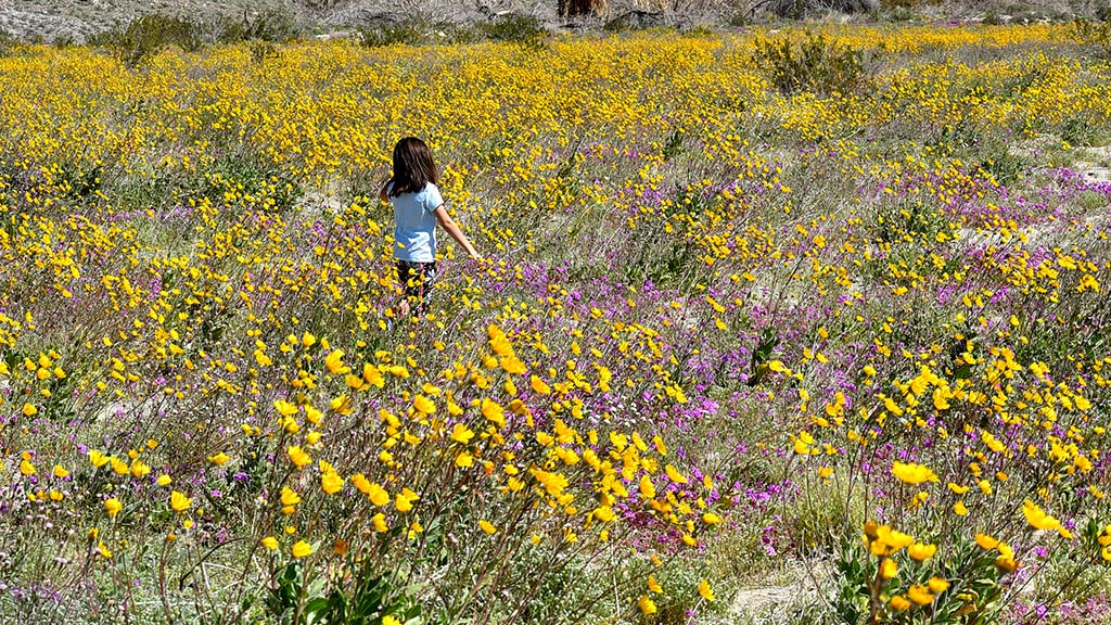 A little girl wanders through the Desert Sunflowers and Desert Sand Verbena while her family took photos.