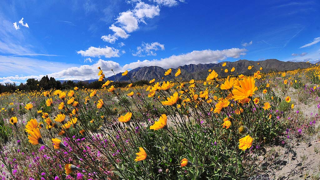 The end of Digorgio Road is blooming ahead of other areas near Borrego Springs.