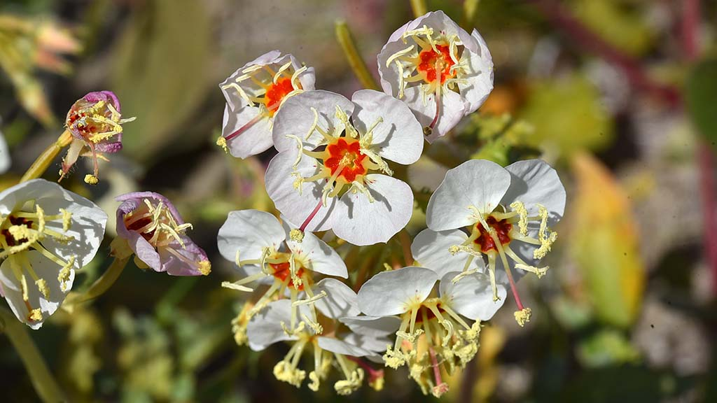 Brown-eyed Evening Primrose can be seen at the end of Digorgio Road at the north edge of Anza Borrego State Park.