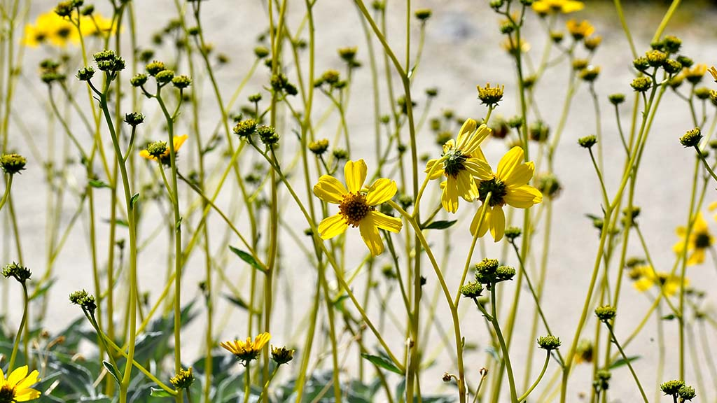 Brittlebush blooms at the visitor center at Anza Borrego State Park.