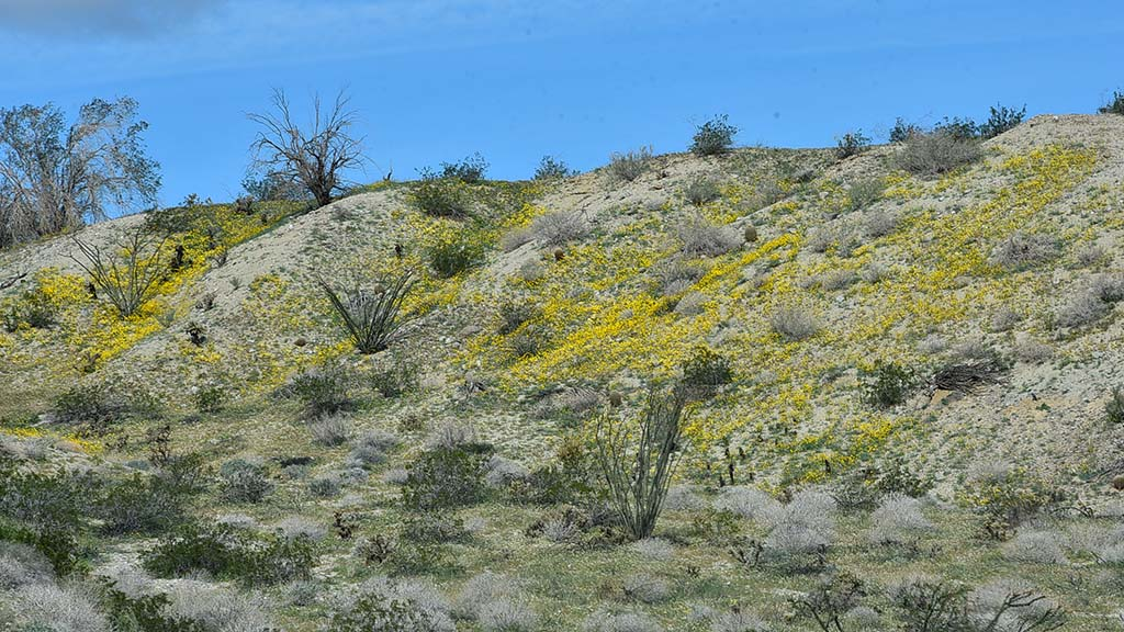 Desert wildflowers have begun to cover the hillsides outside of Borrego Springs.