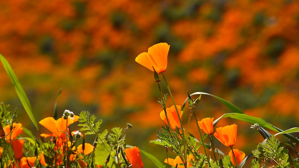 California poppies stand out in Lake Elsinore.