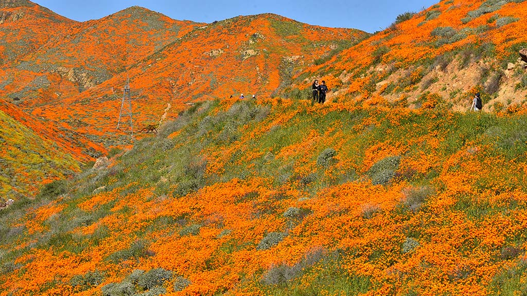 A hillside trail passes thousands of California poppies in Lake Elsinore.