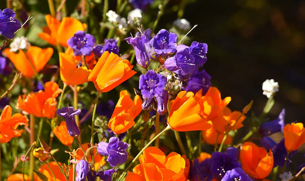 Purple Canterbury bells added contrast to the orange poppies in Lake Elsinore.