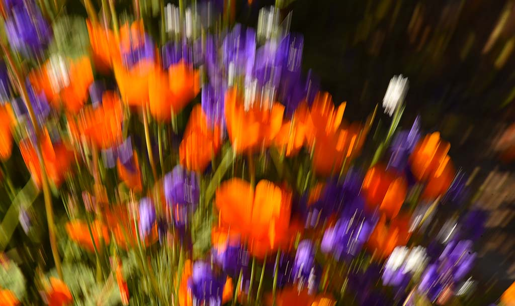 Canterbury bells and California poppies at Lake Elsinore in special effect shot.