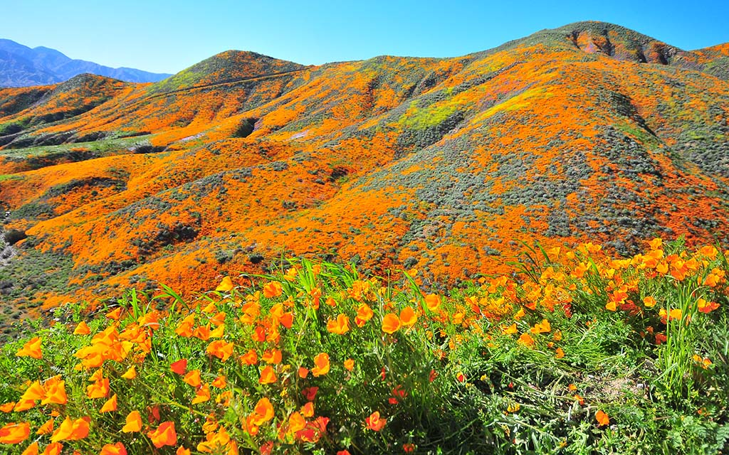Hillsides covered with California poppies in Lake Elsinore.